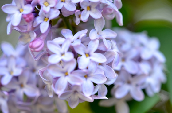 Lilac…Mother's Day Gift 2012