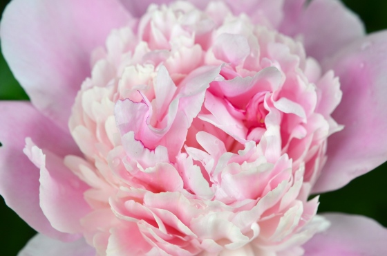 Light Pink Peony Center