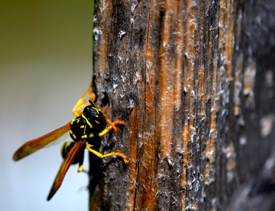 wasp eating wood