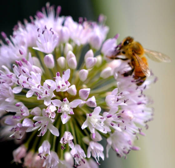 Honey bee & ornamental onion plant