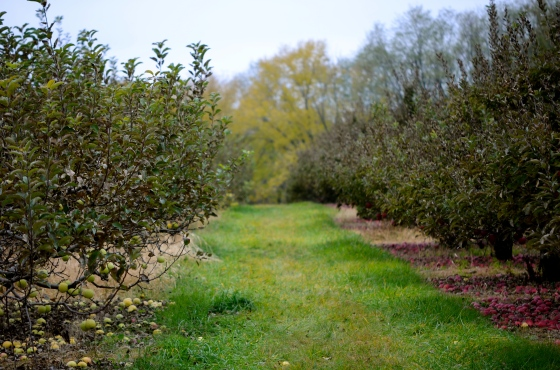 I just love a row of apple trees...